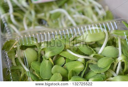 sunflower sprout packing in plastic tray for sale