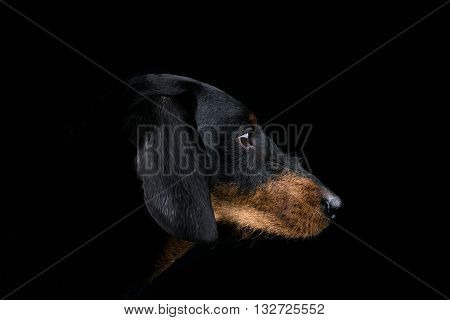 Studio portrait of the side profile of a head of an dachshund on black background