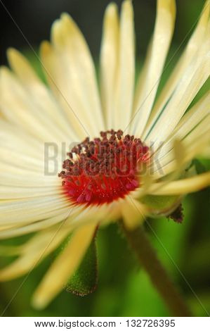 A cream Livingstone daisy flower in closeup featuring the distinct pollen coated stamens.