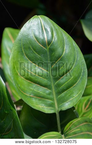 close up green aglaonema sithiporn leaves in nature garden