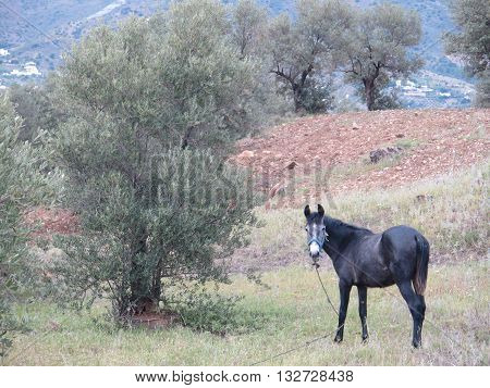Horse tethered in olive grove in Alora Countryside