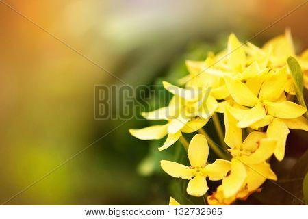 Yellow ixora flower sweet and soft focus sunlight effect