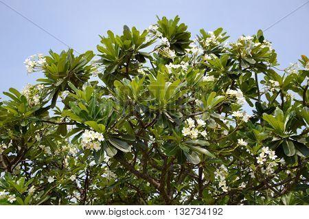 fresh green plumeria tree in nature garden