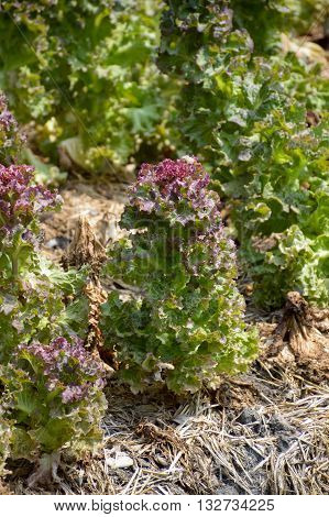 fresh Lactuca sativa plants in nature garden