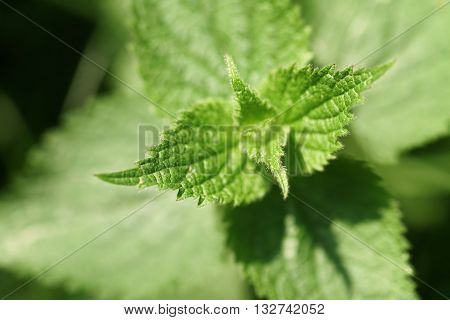 fresh nettle plant in bright sunny day, closeup photo