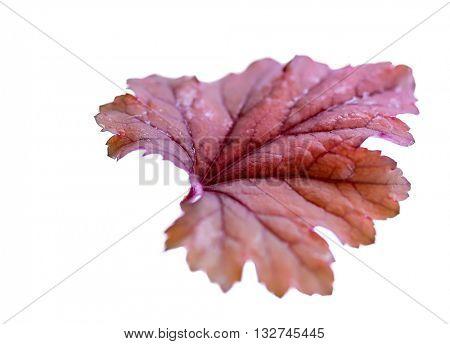 Selective focus Heuchera (coral bells) leaf on white.