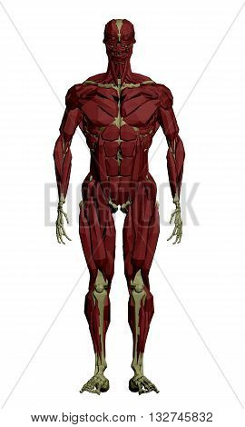 Vector illustration of the muscular structure of the person. 3D. Isolated. Polygons. EPS 8.