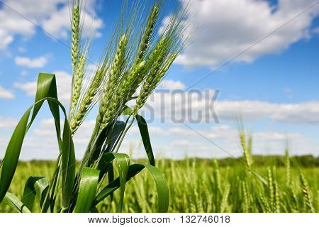 wheat closeup, spring landscape, green field and blue cloudy sky