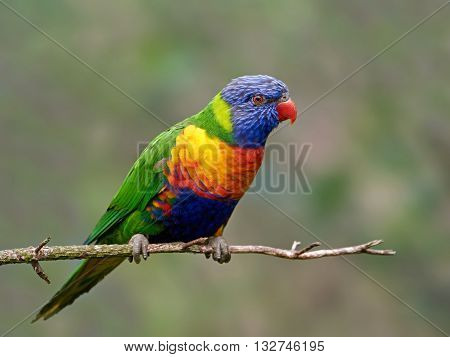 Rainbow lorikeet (Trichoglossus moluccanus) sitting on a branch in its habitat