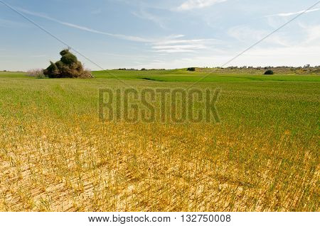 Wheat Field after Drought in Israel in the Spring