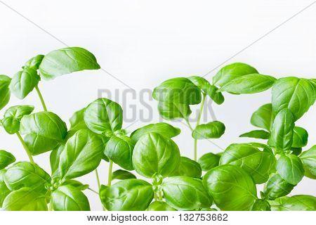 Green genovese basil plant on white background