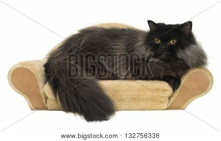 Black persian cat is repaxing on little sofa isolated on white