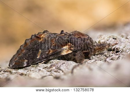 Iron prominent moth (Notodonta dromedarius) on bark. British nocturnal insect in the family Notodontidae at rest