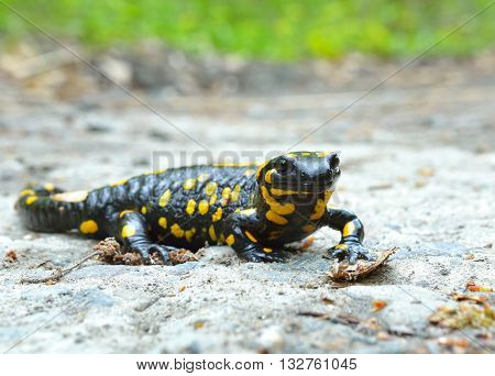 Common salamander in natural habitat in summer