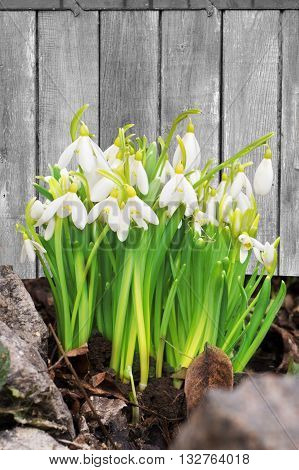 Fresh snowdrop flowers on a wooden background