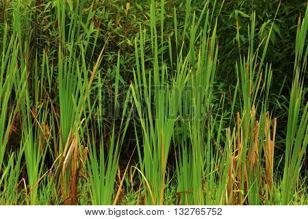 a picture of an exterior Pacific Northwest pond shoreline of reeds