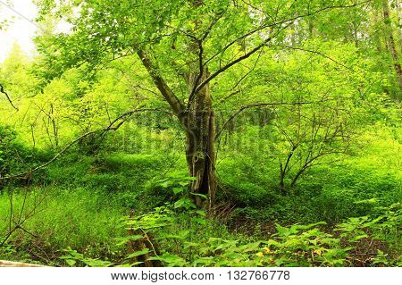 a picture of an exterior Pacific Northwest forest alder tree in  summer