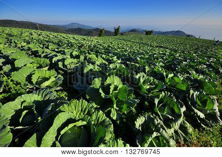cabbage or Chinese Cabbage in a field, ready for harvest