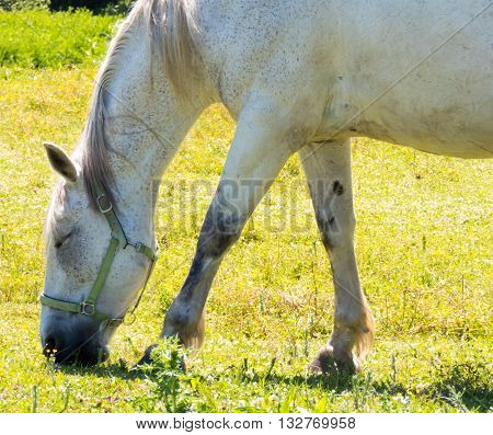 white horse seen from the side that eats grass land