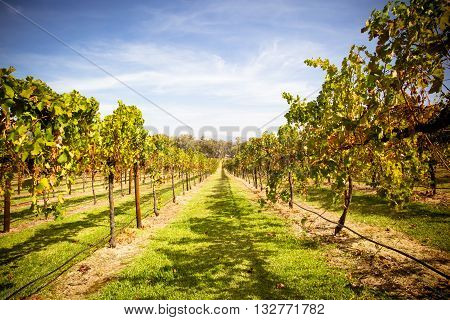 Lush golden vines in autumn at a winery in the Alpine Valley near Mt Buffalo, Victoria, Australia