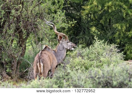 A kudu bull browsing with mouth open near Cradock in South Africa