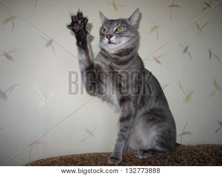 The gray cat raised his front paw and claws.