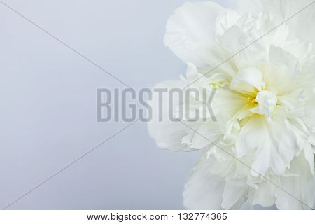 White single peony closeup background with empty space. Low aperture shot selective focus