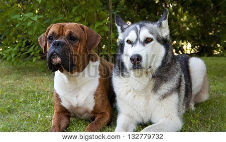 dog of breed a malamute and the boxer on a glade, together, a green grass, the summer period, amusing
