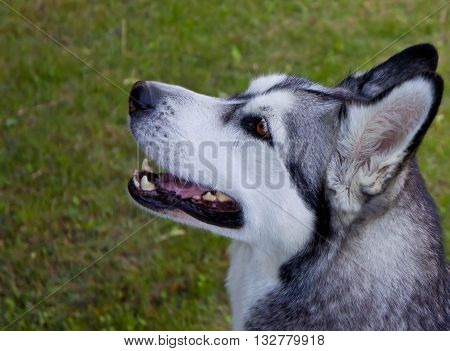 dog of breed a malamute on a glade, a green grass, the summer period, amusing