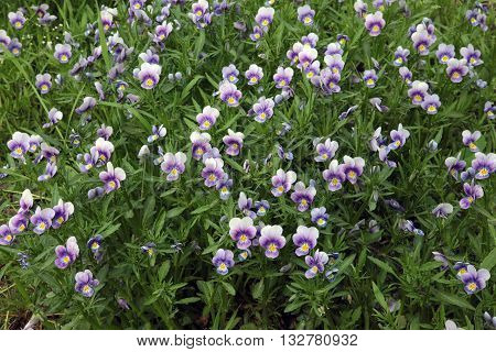 Field tricolor violet summer flowering beautiful background