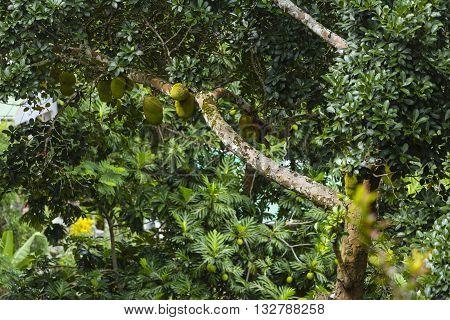 Jackfruit, La Digue, Seychelles