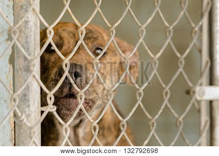 Brindle colored dog behind a chain link fence looking sad