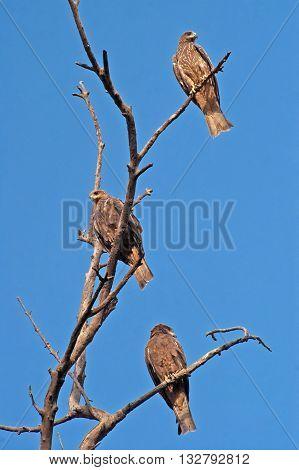 Common hawks (Coculus varius vahl) on the tree Delhi park, India