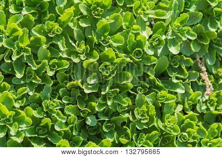 Sedum leaves clustered tightly for green texture background