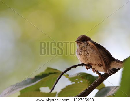 Eurasian tree sparrow (Passer Montanus) perched on a twig