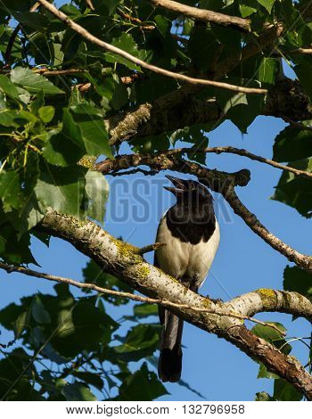 Eurasian Magpie On A Tree Branch