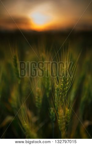 Wheat Field At Sunset, Sun In The Frame