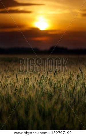 Wheat field at sunset in closeup with selective focus
