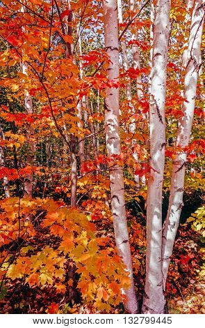 Autumn leaves with maple and paper birch trees