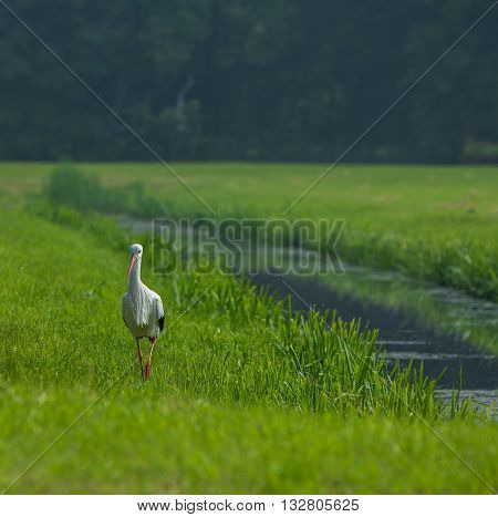 European stork walking along a canal in The Hague, the Netherlands