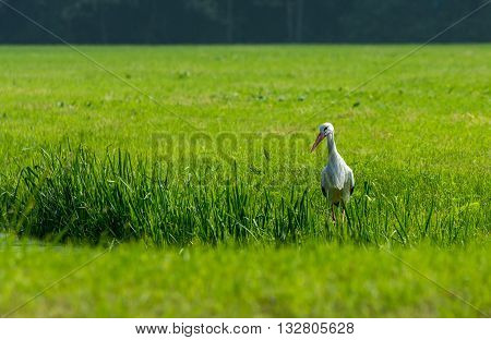 European stork hunting in a field in The Hague the Nethrlands