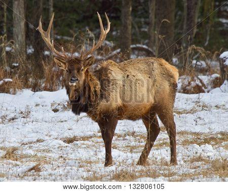Elk in Benezette Pennsylvania during snow storm