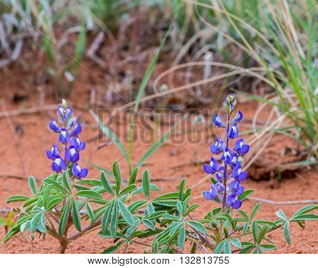 Blooming Dwarf Lupine (a.k.a. Rusty Lupine Lupinus pusillus) wildflowers at Arches National Park, near Moab, Utah.
