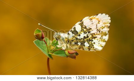 Orange tip (Anthocharas cardamines) a beautiful butterfly that lives in Europe