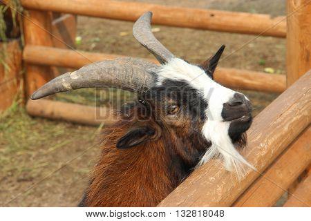 Сделал фото в зоопарке , как смотрит этот коз