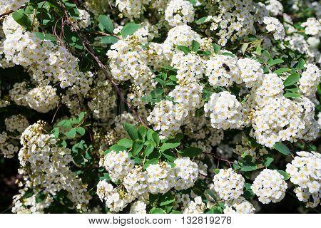White Flowers Of Bird Cherry Tree