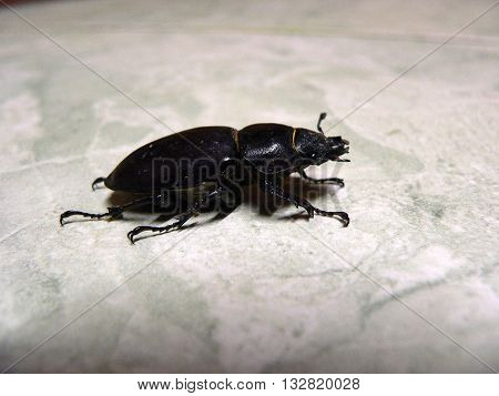 live female stag beetle on the marble pavement