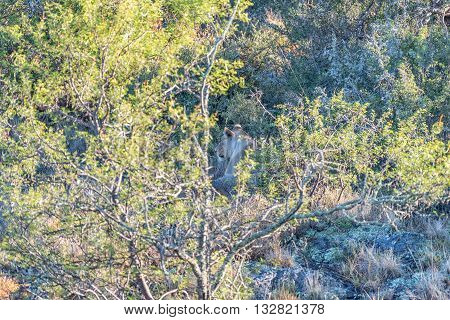 A lioness hiding between trees in a typical scene in a game park in South Africa