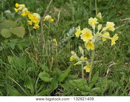 False Oxlip - Primula x polyantha A natural hybrid of Primrose - Primula vulgaris and Cowslip - Primula veris Growing with one of it's parents Cowslip