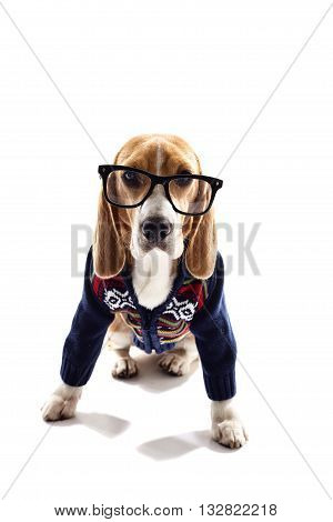 Clever beagle dog is wearing warm sweater and big eyeglasses. He is sitting and looking at camera seriously. Isolated